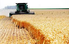 صورة توقع إنتاج حوالي 446 ألف قنطار من الحبوب بالوادي