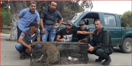 صورة القبض على القرد الذي أثار هلعا ورعبا في أوساط سكان بلدية زموري