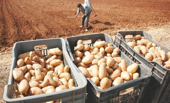 صورة مستغانم: مردودية قياسية في حملة جني البطاطس الموسمية
