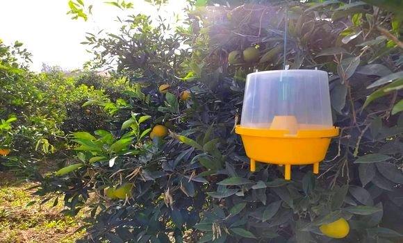 صورة وهران: المعالجة الفورية تنقذ بساتين البرتقال من أضرار ذبابة سيراتيت