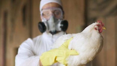 صورة اكتشاف بؤرة لأنفلونزا الطيور بأم البواقي