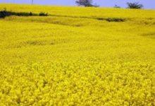 صورة حصاد أكثر من 480 قنطار من السلجم الزيتي إلى غاية الآن بورقلة