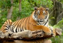 صورة سطيف:  ولادة نمر بنغالي أندونيسي بحديقة الحيوانات